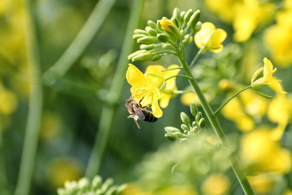 Biene an Ölfrüchten