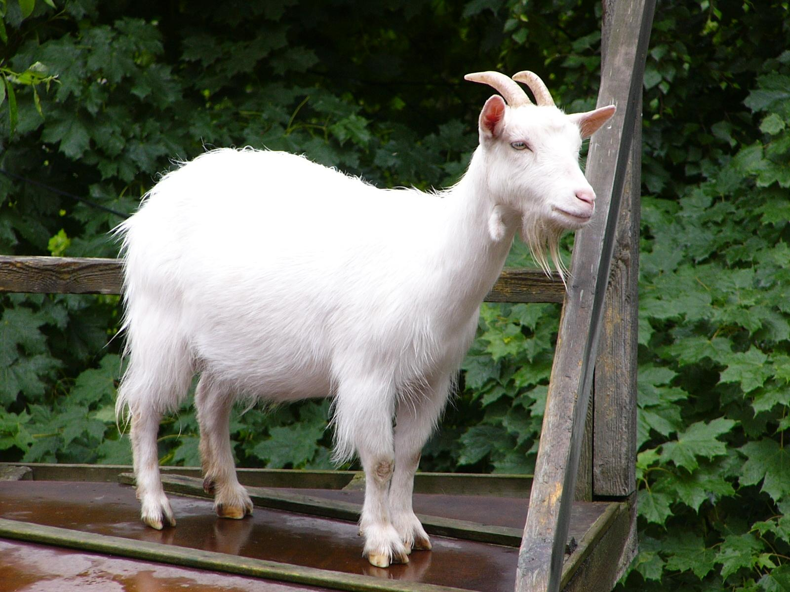 pictures of  goats