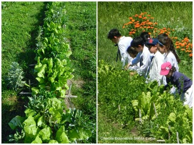 Cosecha de hortalizas - Chacra Educativa Santa Lucía