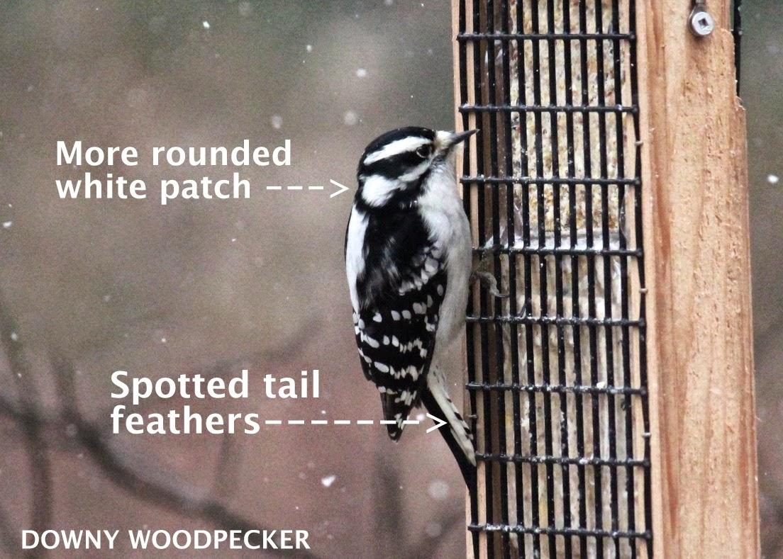 ¿Los pájaros de Kathie: Sapsucker o Downy? WBW