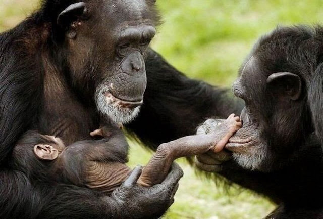funny animal pictures, chimpanzee family