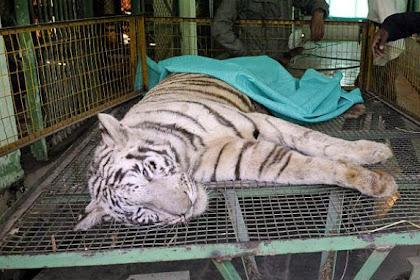 Digigit Kobra Hitam, Harimau Putih Langka Jemput Ajalnya