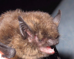 Winter bats