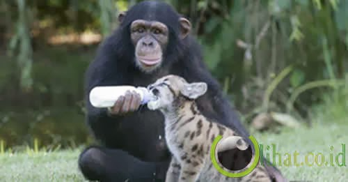 Harimau Putih & Simpanse