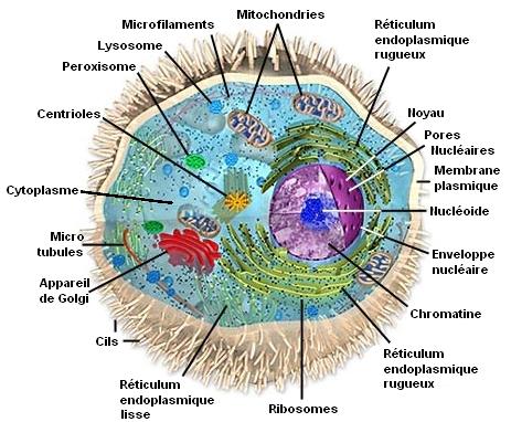 Cellule Humaine la cellule humaine - les cellules