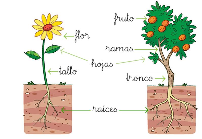 El rinc n del huerto las plantas y sus partes for Plantas beneficiosas para el huerto