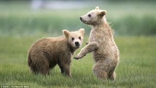 berkelahi sambil bergurau aktivitas dari anak beruang