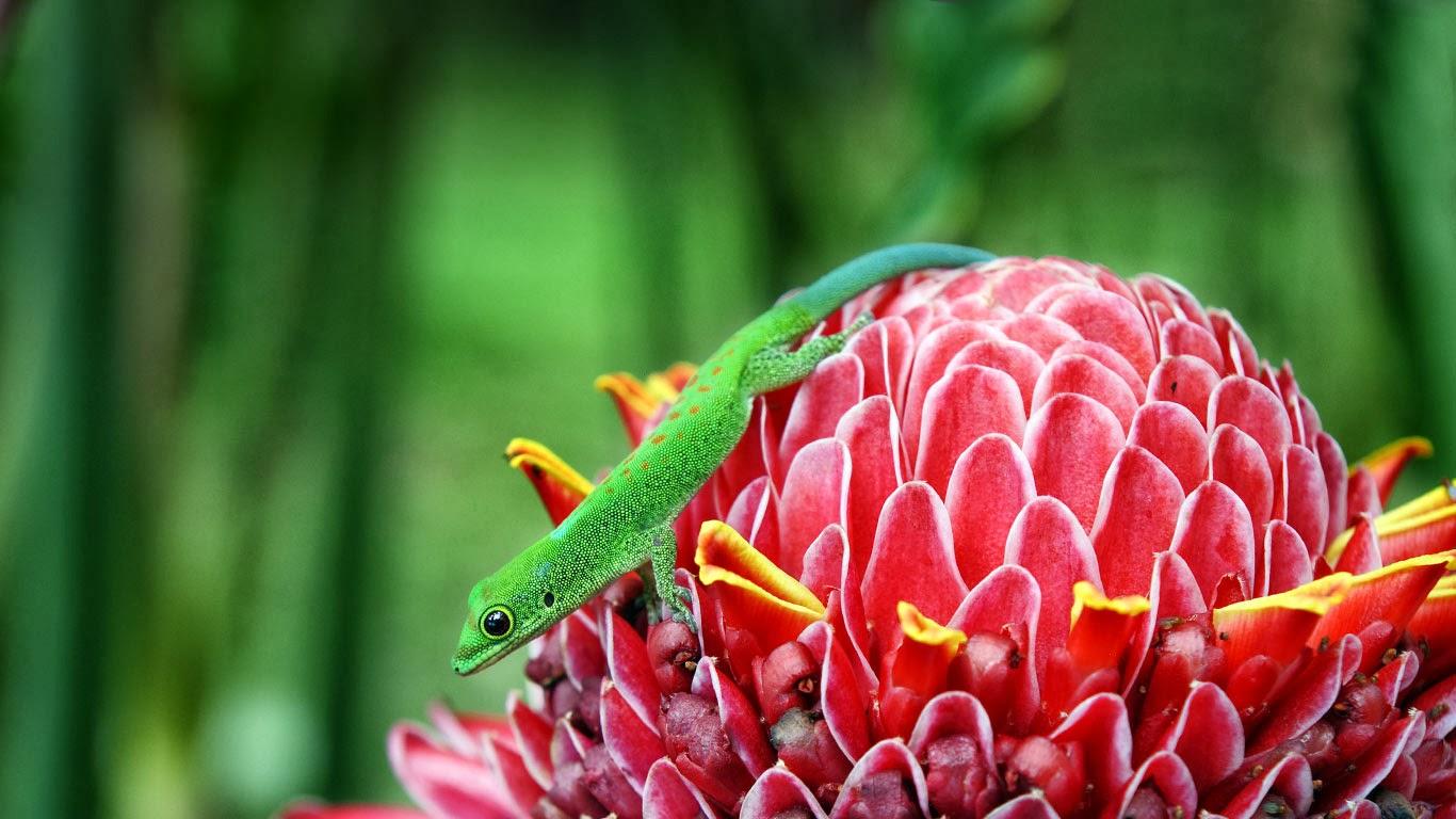 Gecko on a ginger torch (Etlingera Elatior) (© Jean-Pierre Degas/Corbis) 320