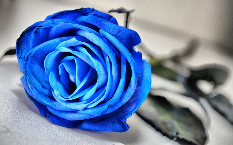 Little Thing Mawar Biru