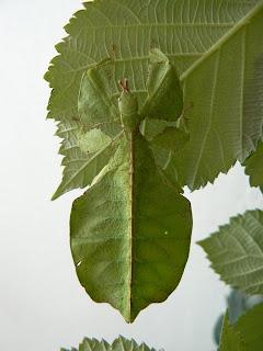 Insectos hoja - Phyllium bioculatum
