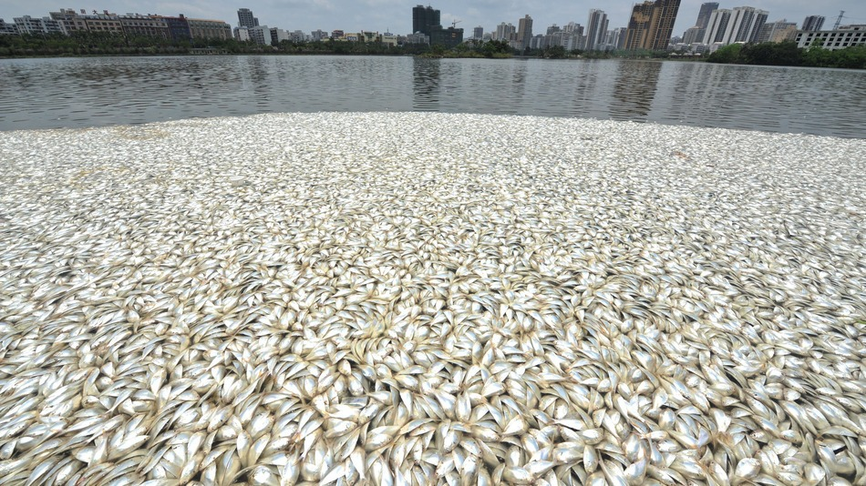 Another 35 tonnes of dead fish: This time it's China!