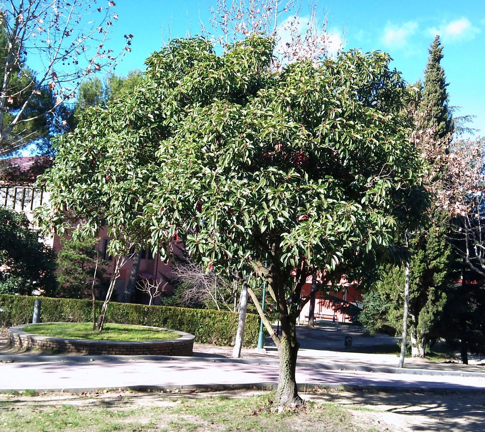 Rboles con alma fotinia fot nia photinia glabra for Arboles para cierre de jardin