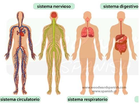 La Anatomia del Cuerpo