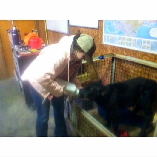 Rancher feeding a baby calf