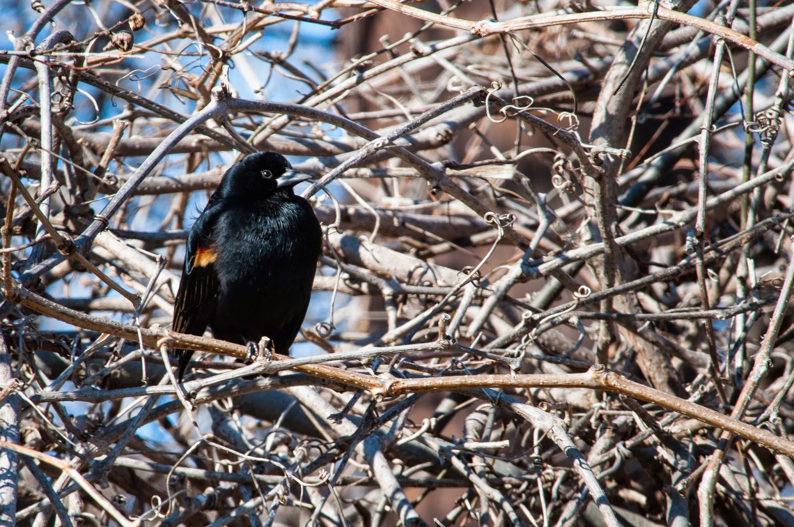 Red-Winged Blackbird, Village Creek Drying Beds
