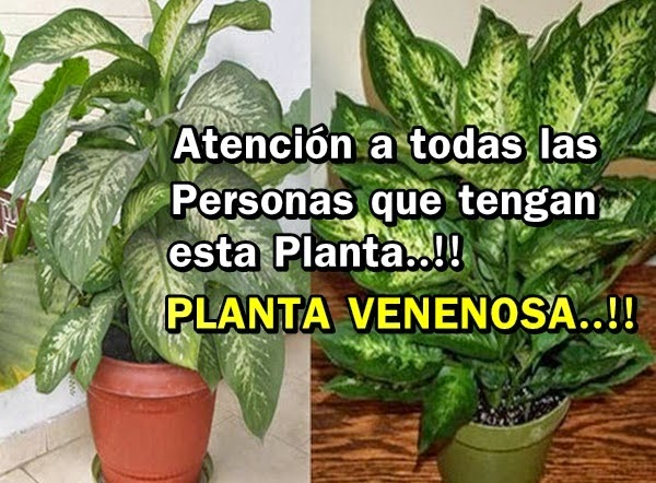 Frases decoracion y algo mas atenci n planta venenosa for Planta decorativa venenosa