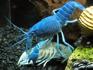 Moulting lobster