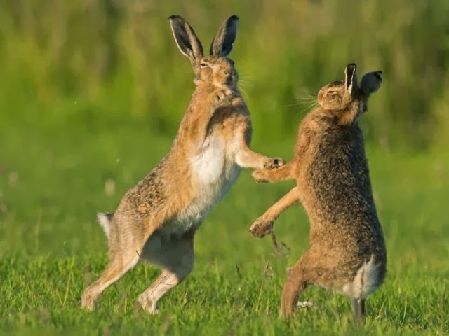 Hares' Courtship Ritual Looks Like Really Tough Test