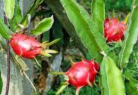 jenis tanaman buah naga, syarat tumbuh buah naga, syarat menanam buah naga
