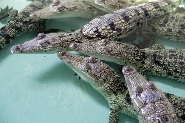 Cría y aprovechamiento del cocodrilo en Yucatán