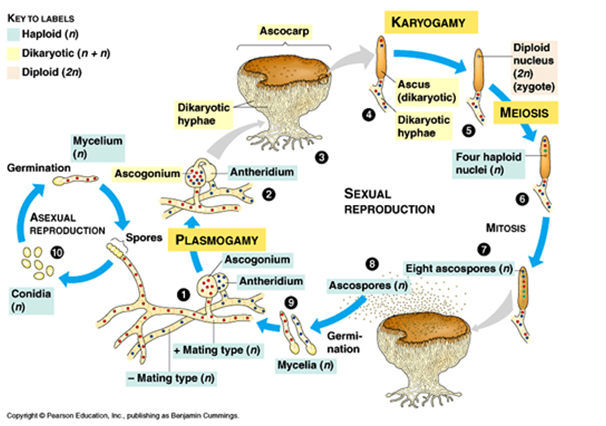 Bagan reproduksi zygomycota asexual reproduction