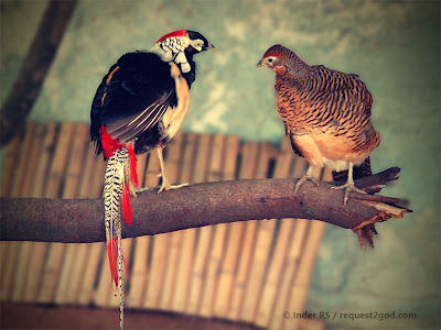 Birds, male and female pheasants, male-female birds