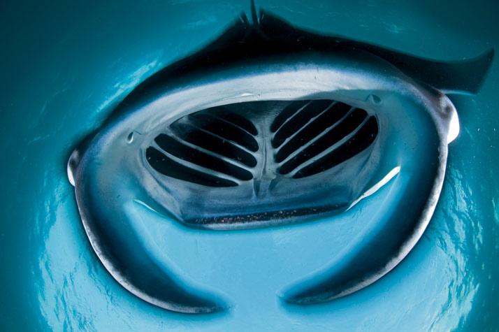 Foto Ikan Pari