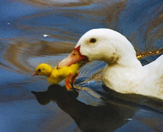 Ser ni os cuentos carrera de patos for Imagenes de estanques para patos
