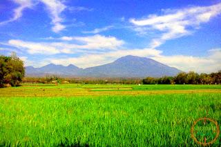 Panorama Sawah Bengkok Desa Sundul