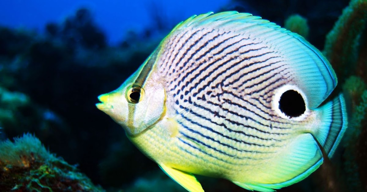 Very Info on striped butterfly fish are absolutely