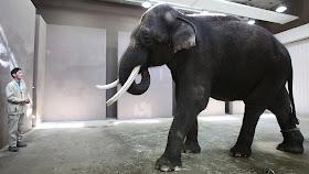 Wah, Gajah Ini Bisa Meniru Suara Manusia [ www.BlogApaAja.com ]