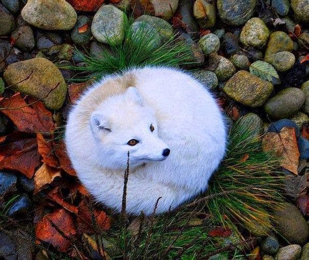 arctic fox, animal