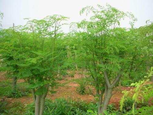 Công thức sản xuất nước sạch từ cây chùm ngây
