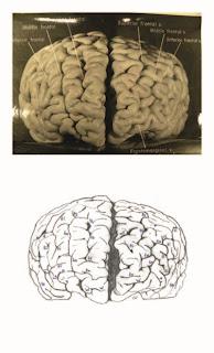 Gambar otak Einstein didedahkan muzium AS