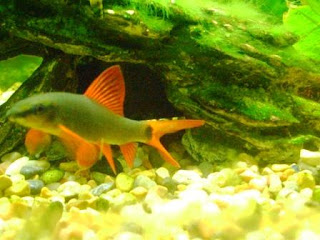 ... Rainbow shark fish, albino rainbow sharks, red tail shark vs rainbow