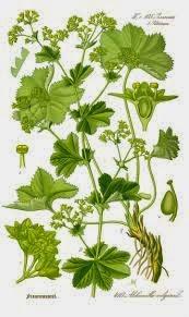 PRZYWROTNIK POSPOLITY Alchemilla vulgaris