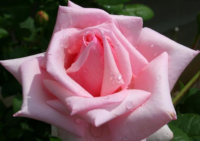bunga_mawar_002.jpg (1136×801)