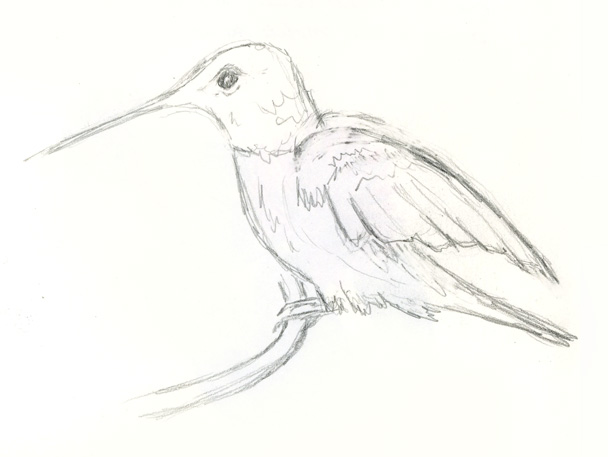 Hummingbird quick pencil sketch