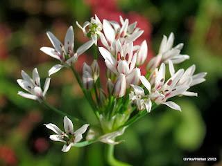 Neapellök Allium neapolitanum