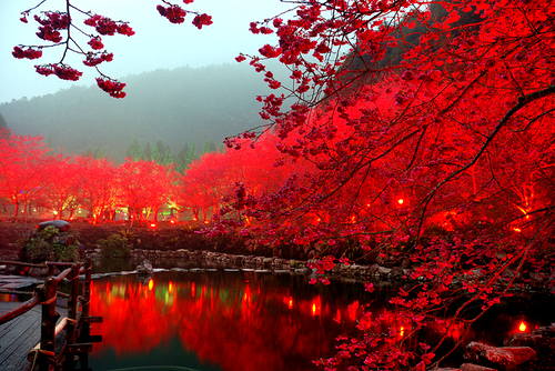 Aliexpress.com : Buy 10 PCS Red Japanese cherry blossoms Seeds ...