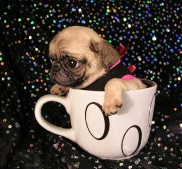 Pashudhan and Animal Science : Teacup Pug (Miniature Pug ...