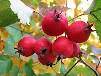лекарственное растение боярышник кроваво-красный