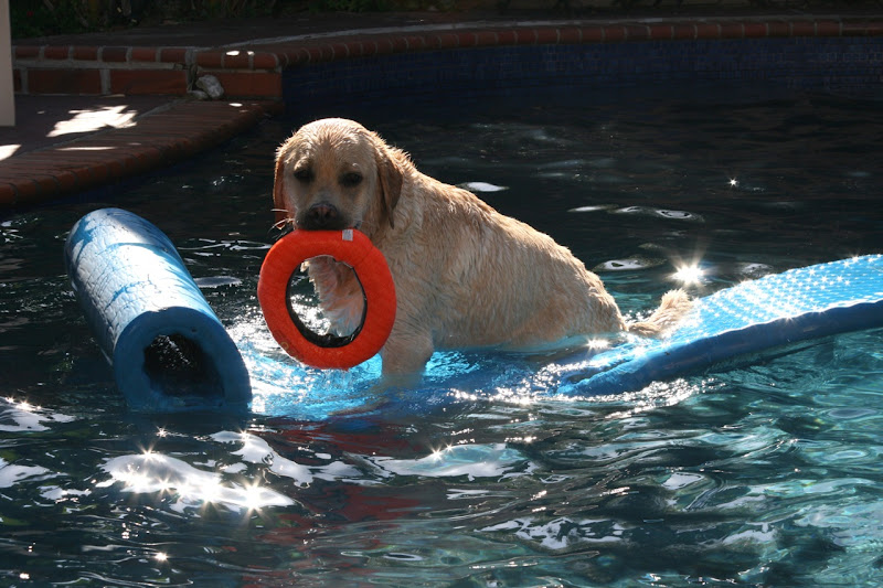 Pool Labrador Cooper