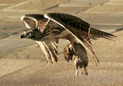 Not my pic, but this is similar to what the hawk looked like after it swooped in and snagged the mouse
