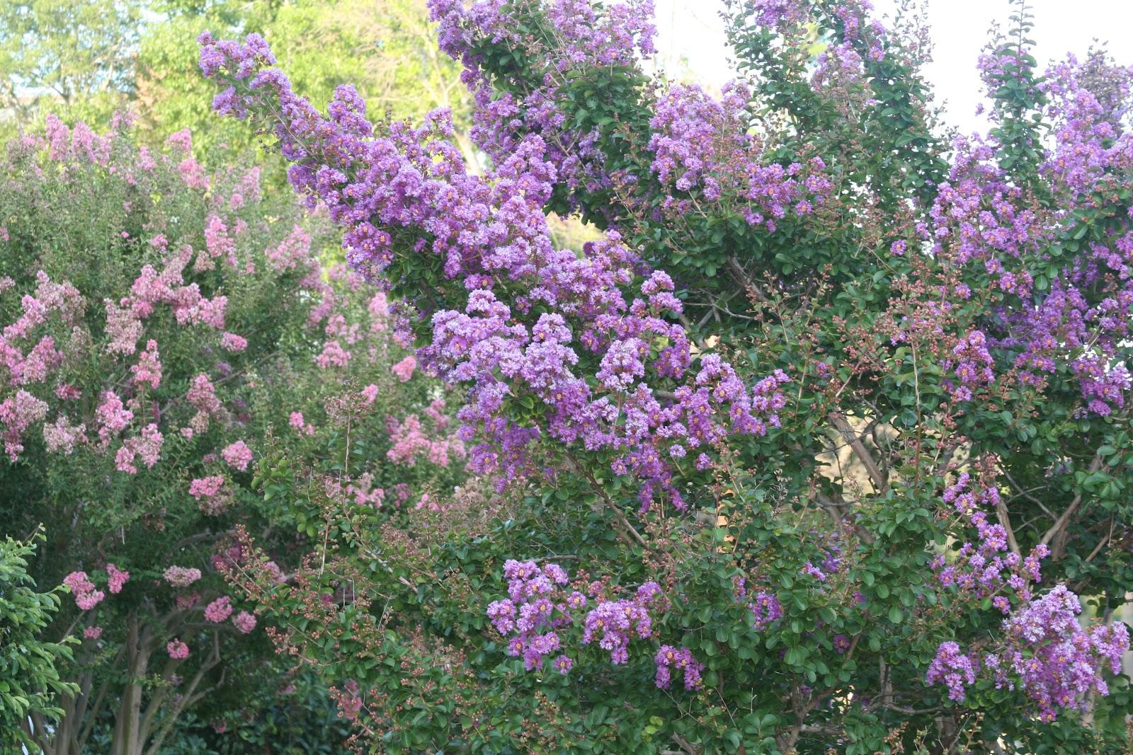 flowering shrub or small tree