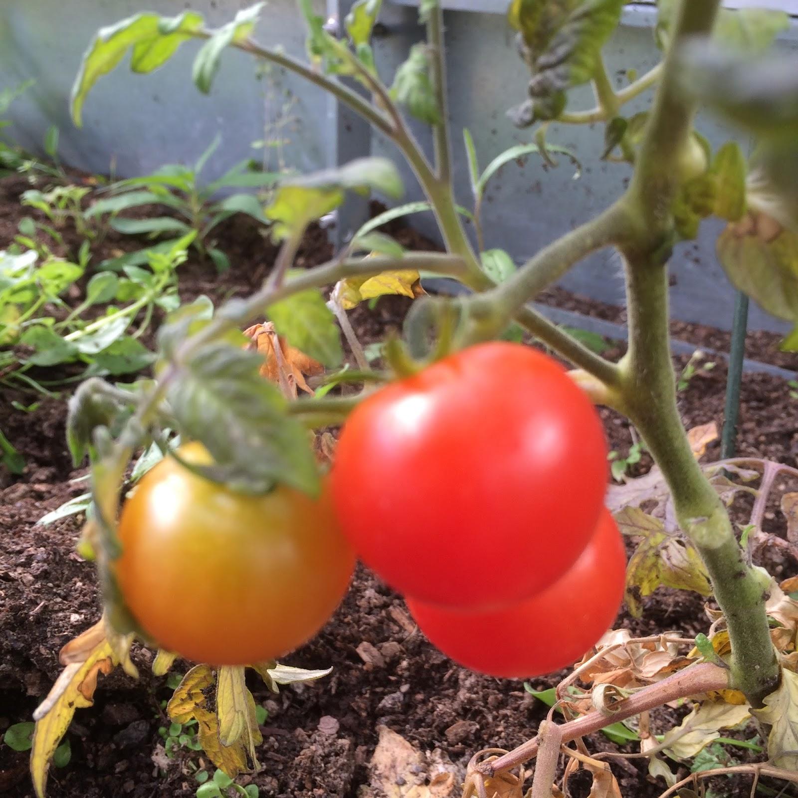 modning af tomater
