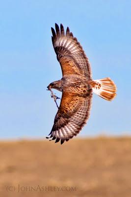 Adult Ferruginous Hawk with new nesting material (c) John Ashley