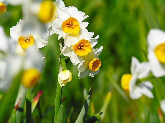 Romantic Flowers: Narcissus Flower