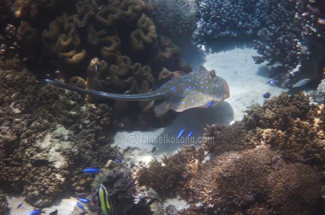 Bluespotted Stingray, Pink beach, Soft Coral, blue Dot Sting Ray, Clown Fish, Labuan Bajo, Flores, Komodo, Rinca, Manggarai, Manta Point