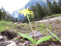 Glacier Lilly